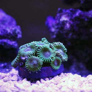 zoas-green.jpg