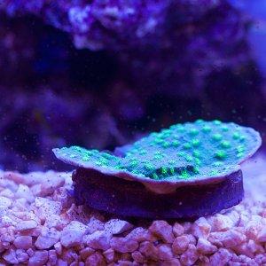 echinopora-green.jpg